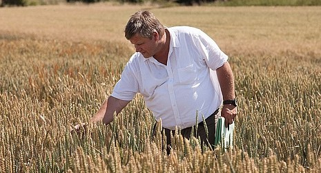 Strube seed wheat field varieties