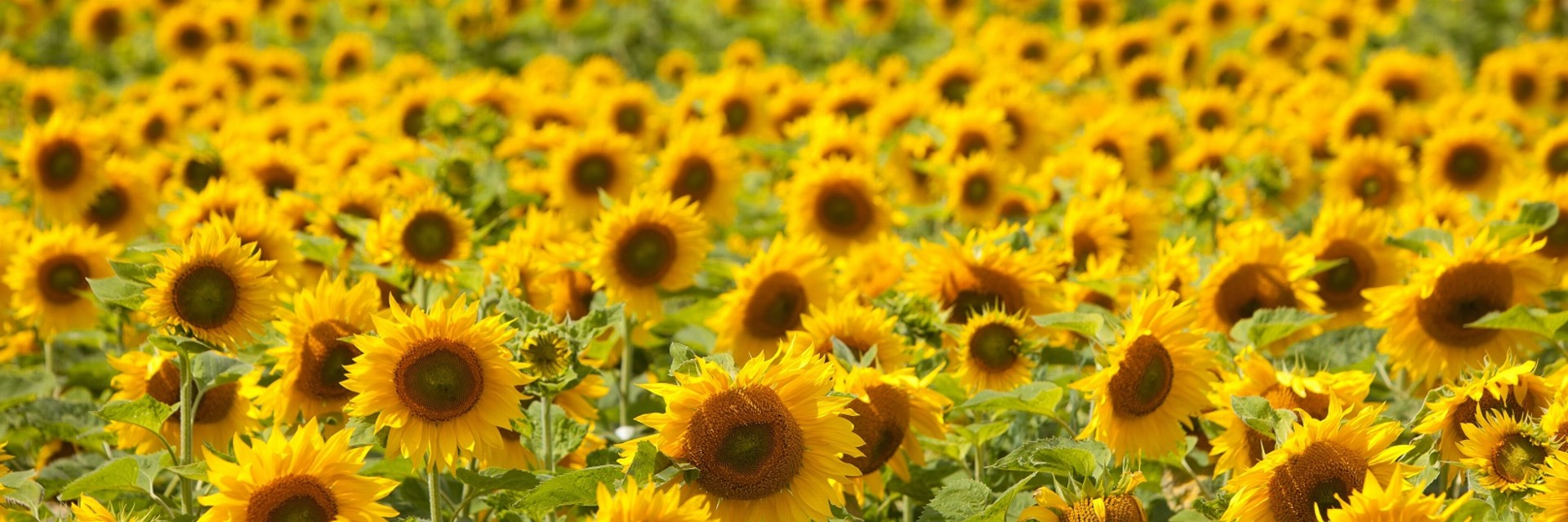 Strube seed sunflower field