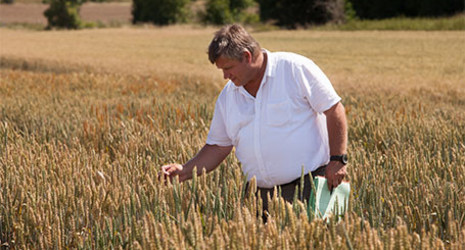 Strube seed breeding: Dr. Andreas Jacobi in a wheat field