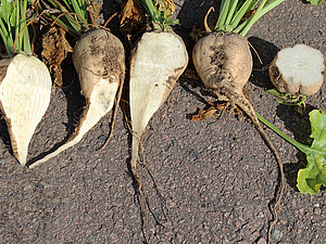 Due to dying vascular bundles the sugar beet can rot.