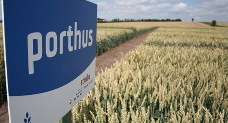 Strube seed wheat variety field porthus