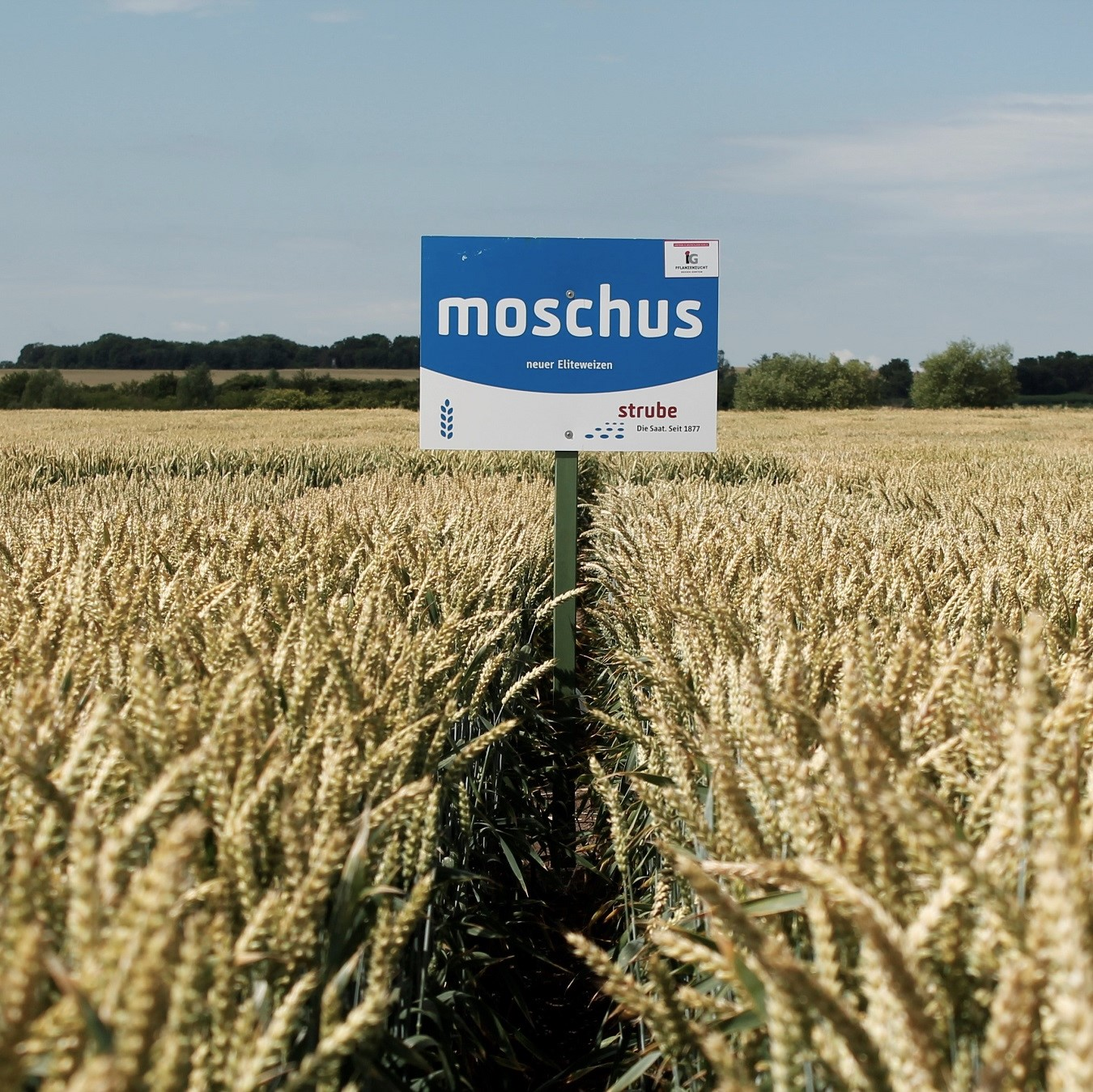 Strube seeds wheat moschus
